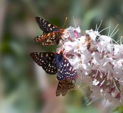 1-Bee-3-Butterflies