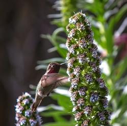 Annas-Hummingbird-3