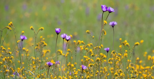 Blue-Dicks-and-Fiddlenecks-Bear-Valley