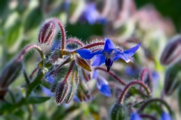 Borage-Close-Up