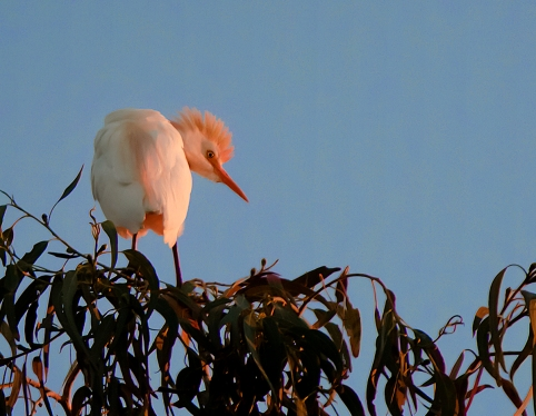 Cattle-Egret-Portrait
