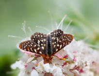 Checkerspot-on-Buckeye