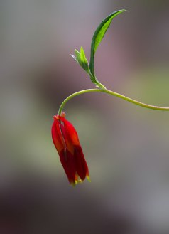 Closed-Scarlet-Columbine