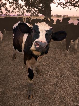 Crazy-Cow-8_12x9