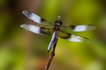 Eastside-Park-Dragonfly