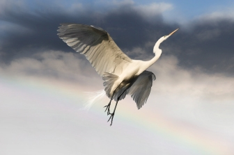 _-egret-2-w-rainbow