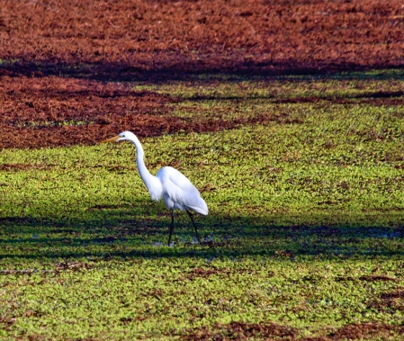 Egret-at-Grey-Lodge