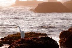 Egret-on-the-Rocks