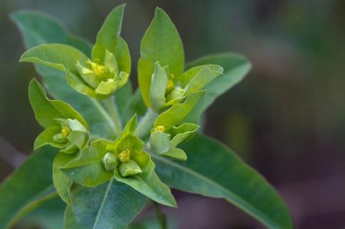 Euphorbia-Oblongata-close-up