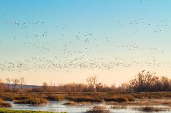Snow Geese at Dusk
