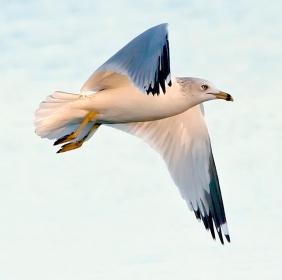 Gull-flying-2