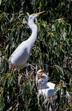 Hungry-Young-Egrets