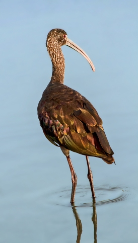 Ibis-Over-the-Shoulder