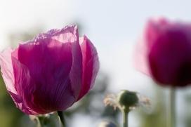 Interseting-Poppies