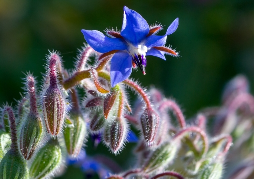 Lilliputians-View-of-Borage-Blossom