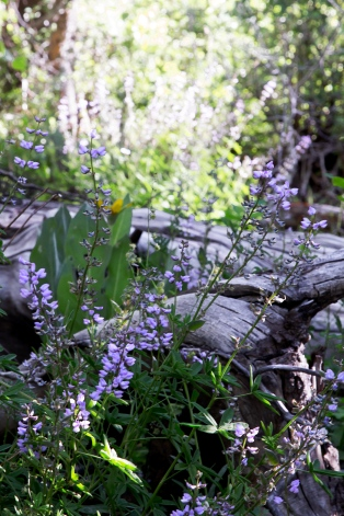 Lupine and Wood