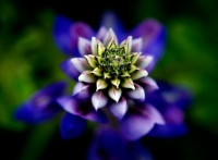 Lupine-Observed