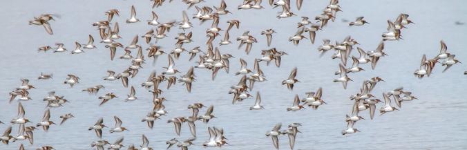 Masses-of-Little-birds