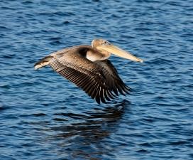 Brown Pelican 2