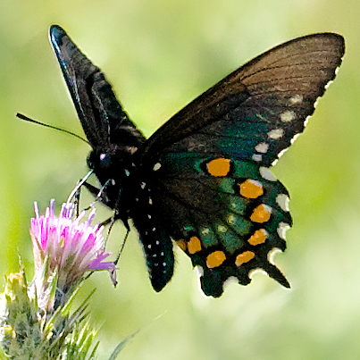 Pipevine-Swallowtail-3-cropped
