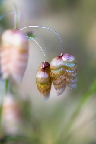 Rattlesnake-Grass