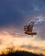 Red Shouldered Hawk 3