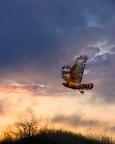 Red Shouldered Hawk 3