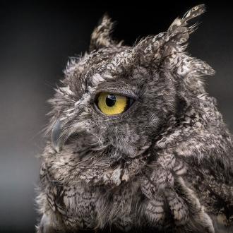 Screetch-Owl-Close-Up_8x8