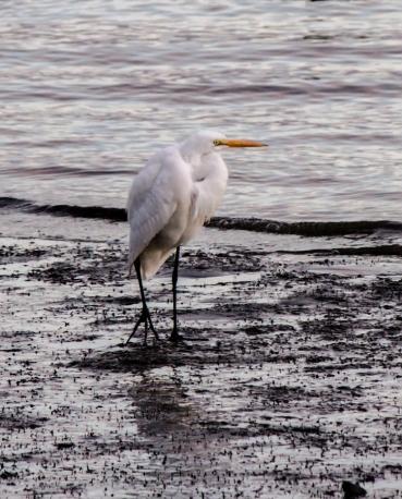 Single Egret at Sunset-Bodega