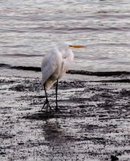 Single-Egret-at-Sunset-Bodega