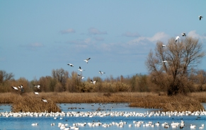 Smallest Group of Snow Geese