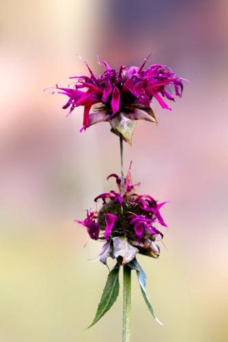 Tahoe-Garden-Flower-2