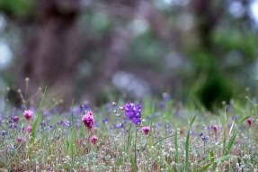 Walker-Ridge-Clover-and-Larkspur