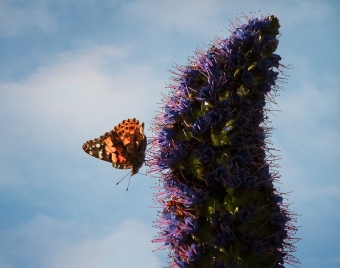 West-Coast-Lady-Butterfly 2