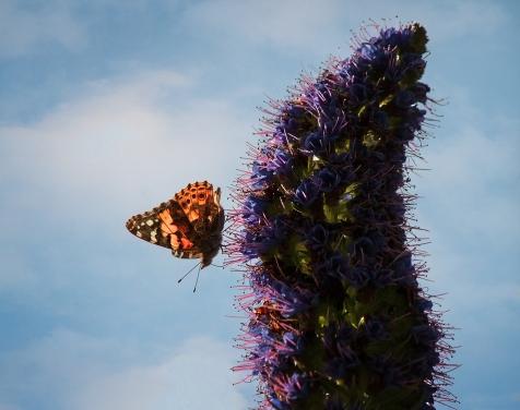 West-Coast-Lady-Butterfly 2