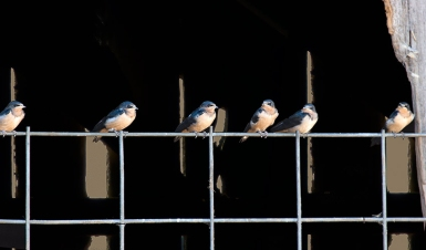 Barn & Swallow Panorama
