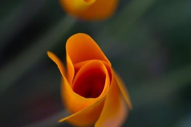 California-state-Flower