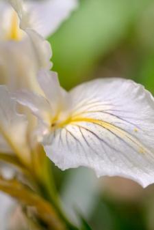 Dreamy-Iris-2