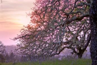 Hilltop Trail Oak