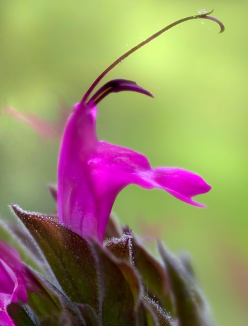 Hummingbird-Sage-at-SSU