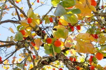 Persimmons in the Breeze