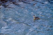 Podiceps-Dominicus----Bodega-Bay