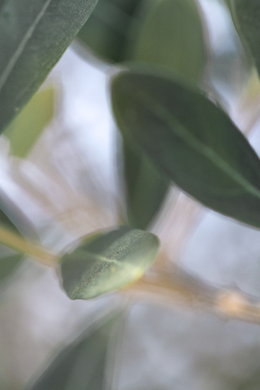 Breezy Olive Leaves
