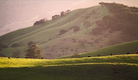 Hills and Cows, Petaluma