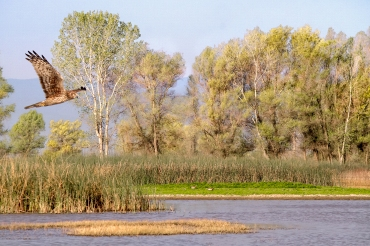 Marsh Hawk Hunting in Wildlife Refuge