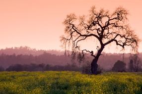 Mustard in Sunset Hues