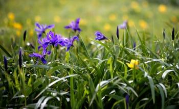 Point Reyes Irises