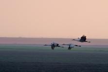 Sandhill Cranes - Night Flight 2