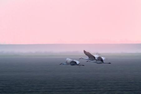 Sandhill Cranes - Night Flight