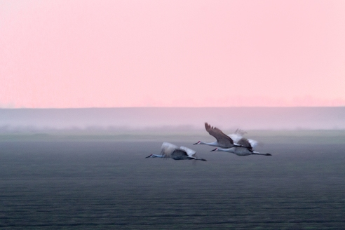Sandhill Cranes - Night Flight